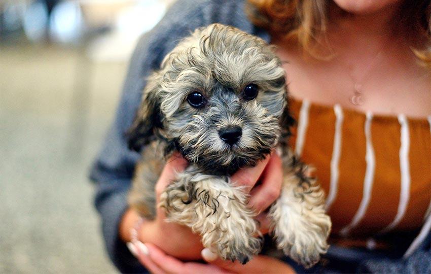 Hundehaltung - Shih Poo