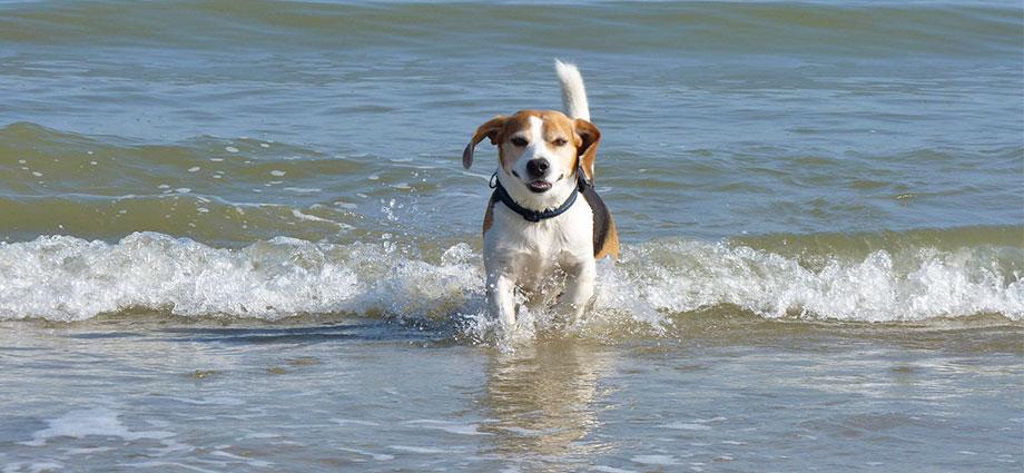 Urlaub mit Hund auf Rügen - Beagle